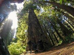Surly meets Redwood